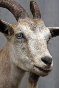farm animal goats