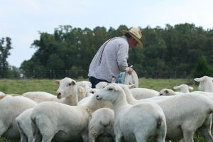 Livestock Handling & Understanding Flight Zone For Cattle And Sheep