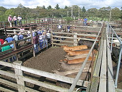 "Improve Cattle Handling with ""Follow the Leader"" Instincts"
