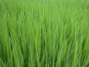 grass_grasses_green_274133_h