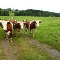 How Global Warming & Climatic Changes Affect Dairy Cattle