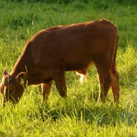 Sustainable Nutrition For Dairy Cattle & Grass Fed Beef