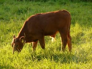 cow-56022_1920