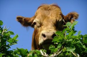 cow-84642_1280