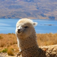 You Could Own an Alpaca Farm