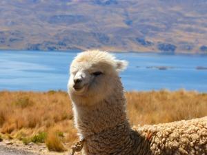 alpaca-43324_1280