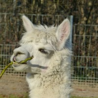 Tips for Starting an Alpaca Farm