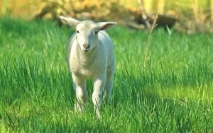 lamb-739169_1280