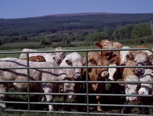 cattle-720044_1280