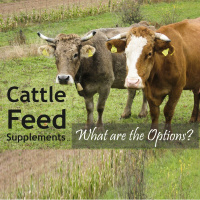 Supplementing Cattle Feed – What are the Options?