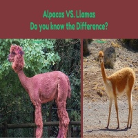 Differences Between Llamas & Alpacas – Ever Wonder What they are?