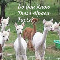 All About Alpaca Farming – Useful Tips for Raising Alpacas