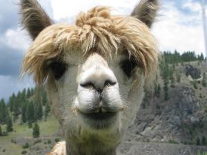 alpaca sale