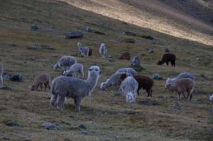 alpaca habitat